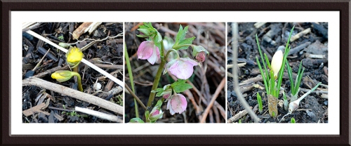 aconite, hellebore and crocus