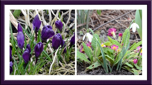 crocus, snowdrop and primula