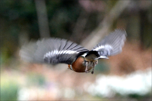 flying chaffinch rear