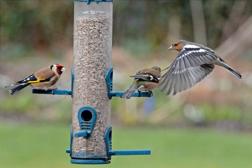 flying chaffinch and feeder