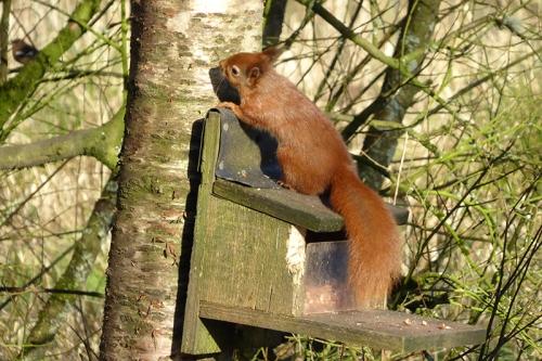 Eskrigg squirrel