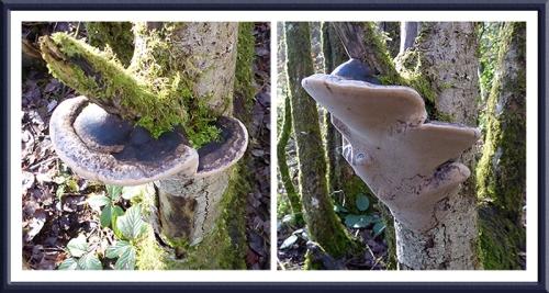 Eskrigg fungus