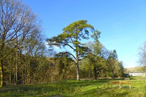 castleholm pine