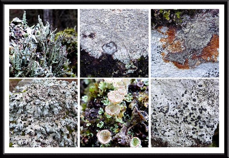 Broomholm lichen