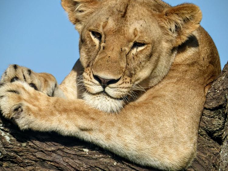 Venetia lion