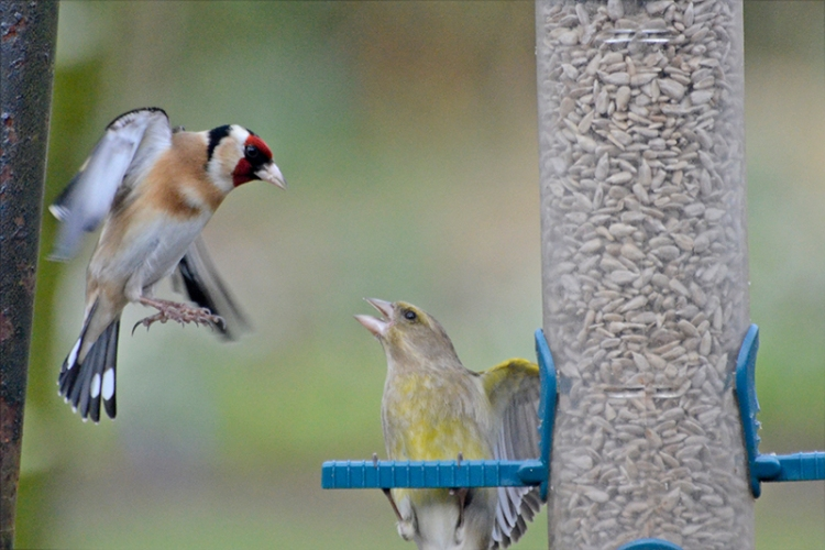 greenfinch and goldfinch