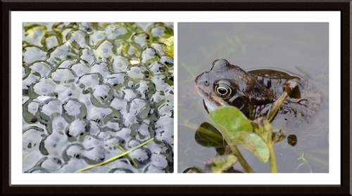 frogs and frogspawn