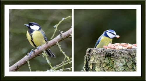 great tit blue tit