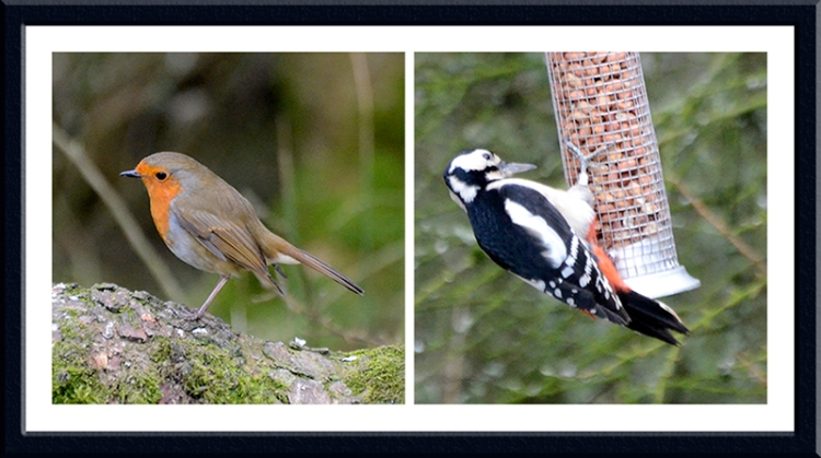 robin woodpecker