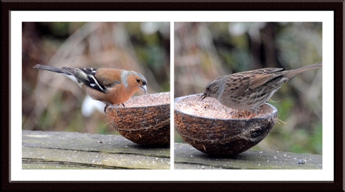 chaffinch and dunnock