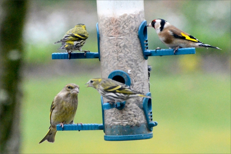 siskin, greenfinch and goldfinch
