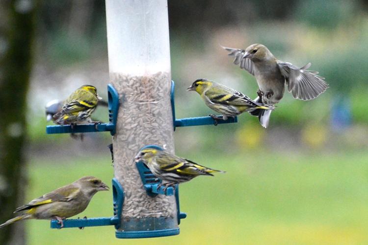 siskin, chaffinch and greenfinch