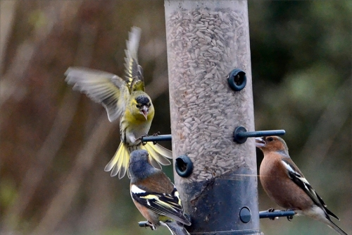 busy feeder siskin