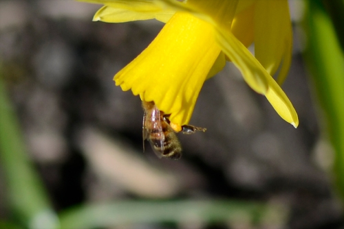 daff with bee