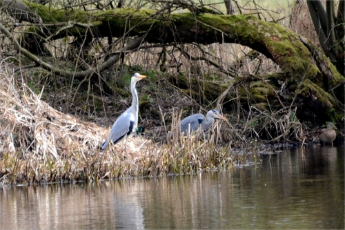 herons at Eskrigg