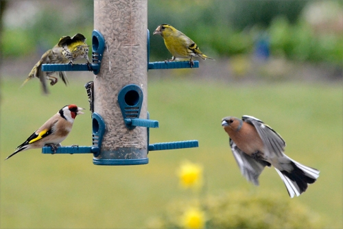 goldfinch, siskin and chaffinch