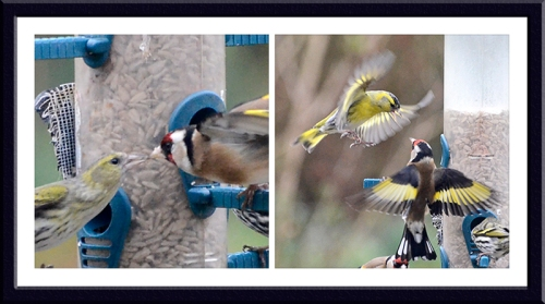 siskina and goldfinches