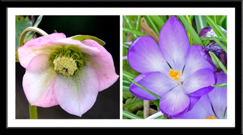 hellebore and crocus