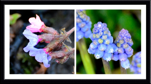 pulmonaria and grape hyacinth