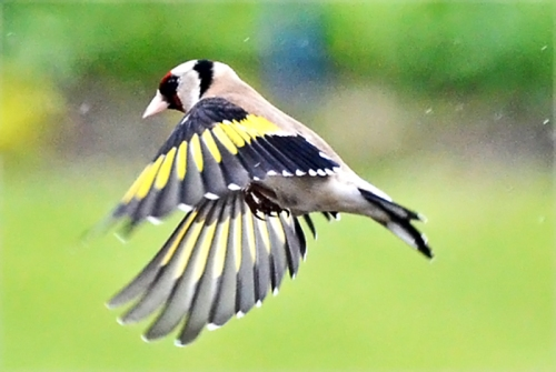 goldfinch in rain