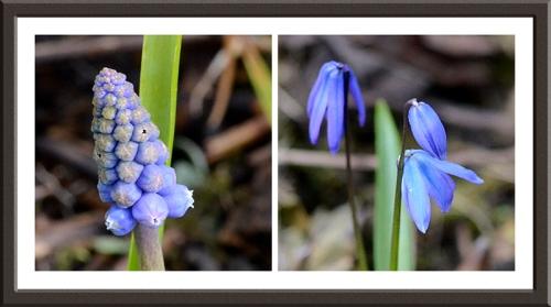 hyacinth and scilla