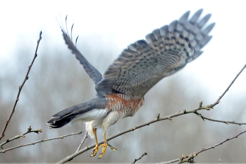 flying sparrowhawk