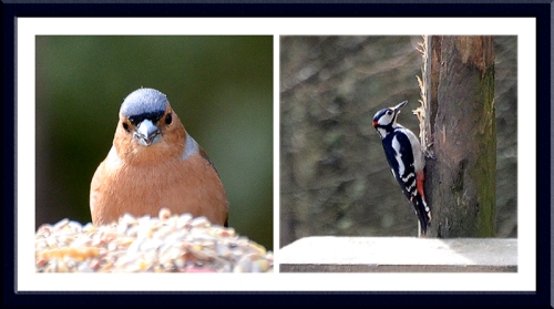 chaffinch and woodpecker