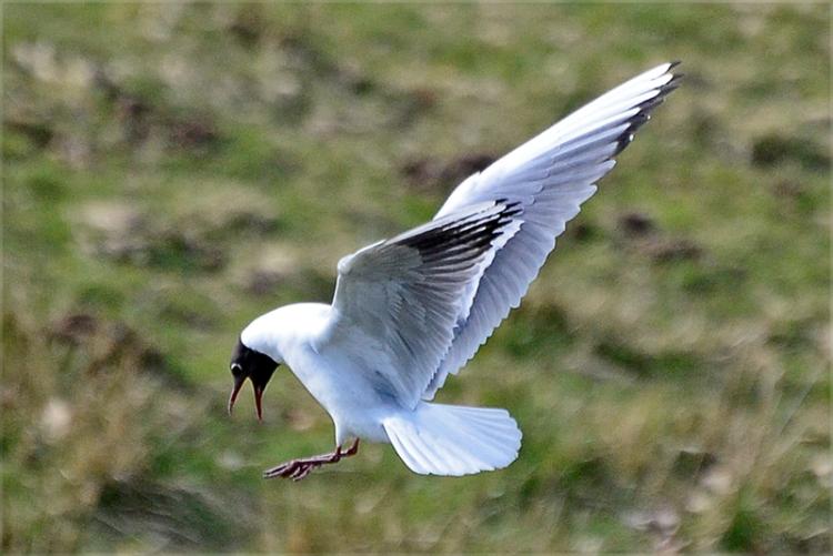 black headaed gull