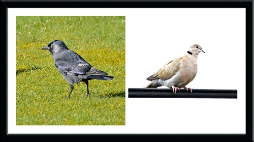 jackdaw and collared dove