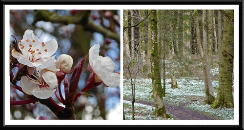 cherry and snowdrops