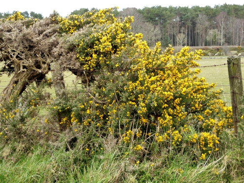 gorse near Easton