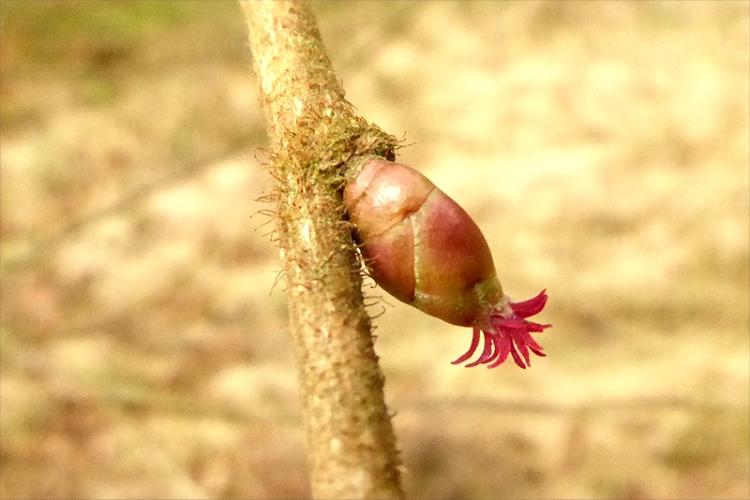 hazel flower