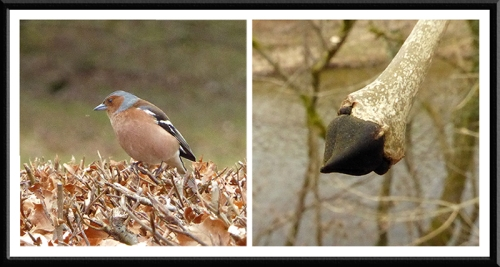 chaffinch and ash