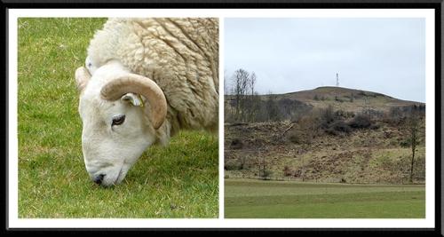 sheep and warbla