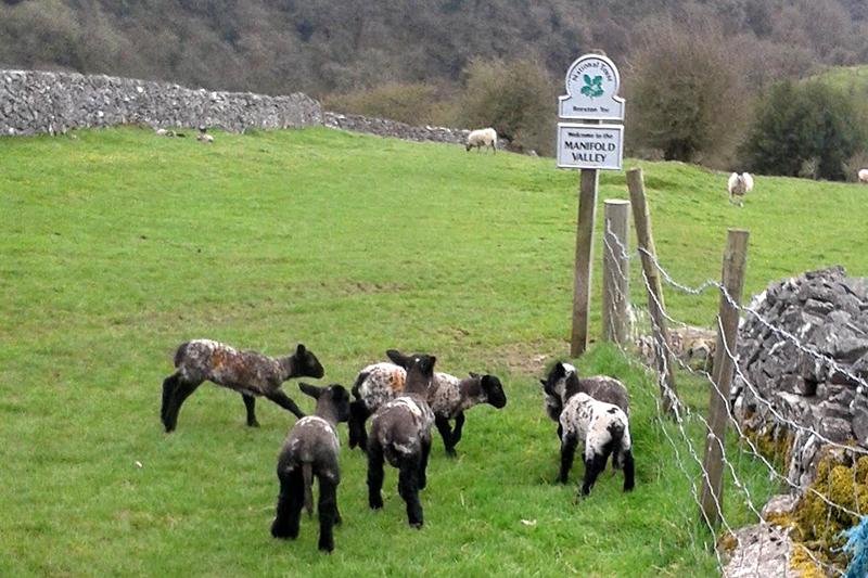 manifold lambs