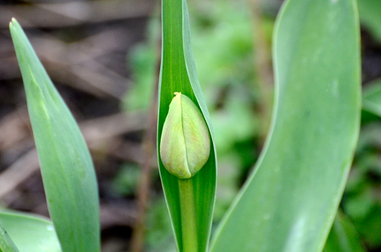 Tentative tulip