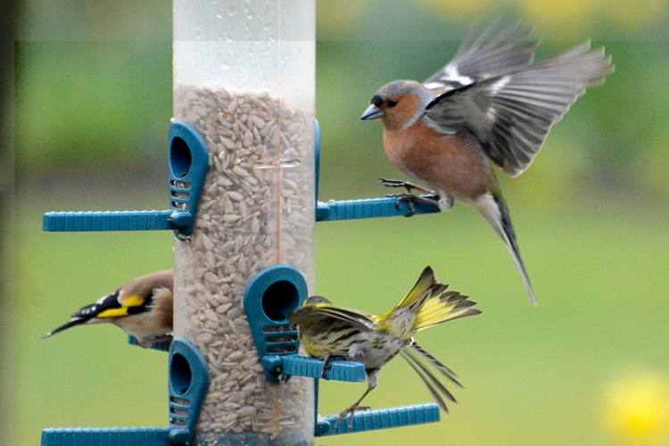 siskin and chaffinch