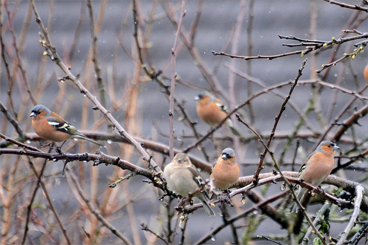 chaffinches in plumtree
