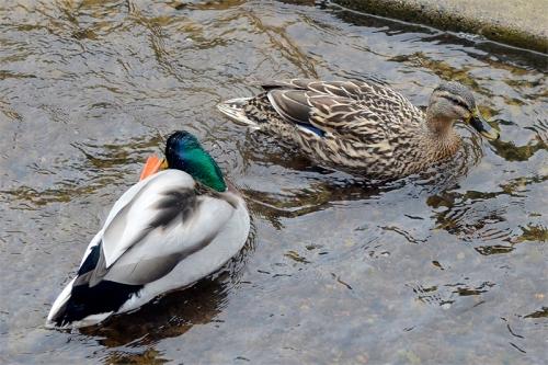 ducks on dam