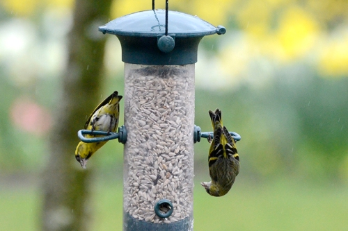 siskins upside down