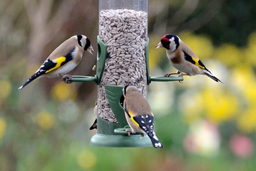 goldfinches on new feeder