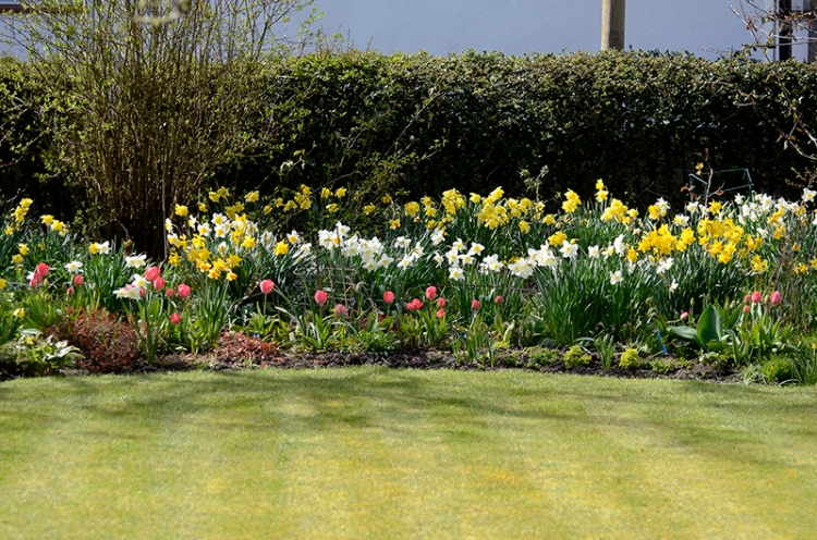 lawn, tulips and daffs