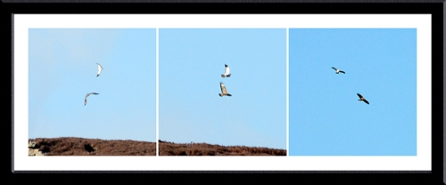 hen harrier and buzzard
