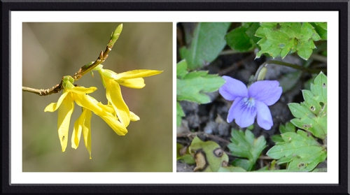 forsythia and violet