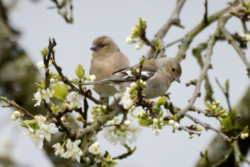 chaffinch in plum blossom