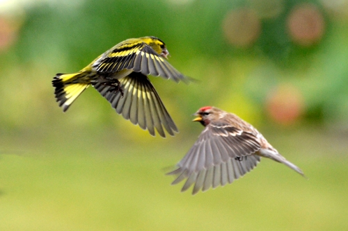 siskin and redpoll