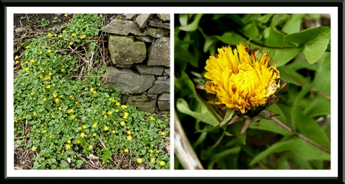celandine and dandelion
