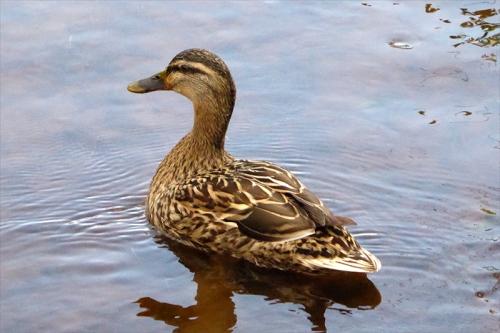 Dam duck