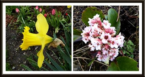 daffodil and bergenia