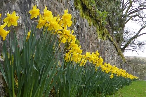 Springhill daffs